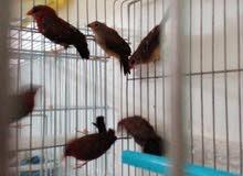 اطيور فراوله