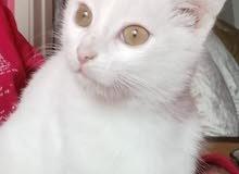 قطة بيضاء للتبني