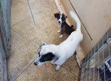 كلاب لولو فوكس للبيع