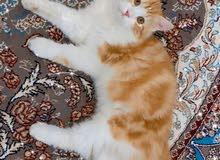قط ذكر نوع شيرازي للبيع