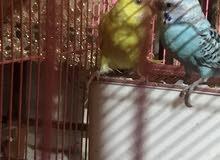 طيور حب للبيع مع القفص اقره الوصف