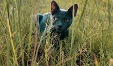 قط روسي ازرق