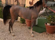 حصان واهو نسب فاخر