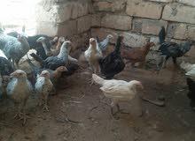 دجاج عمره خمسة اشهر