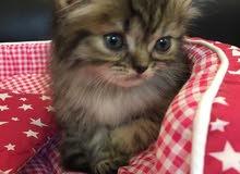 قطط هملايا بيور وبعضهم شيرازيين للبيع