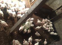 للبيع دجاج ابيض لحم