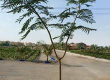 DELONIX TREES