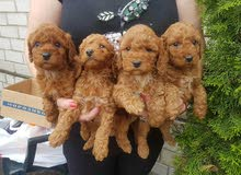 Toy poodle puppies age 60 days