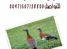 للبيع اوز ashy headed goose