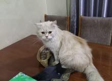 قطه هملايا اورنج بقي فيست انثئ حامل بسعر 60