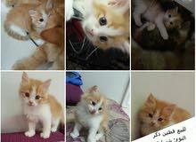 للبيع قطتين ذكر For sale 2 male cats