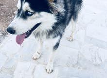 كلب هاسكي للبيع
