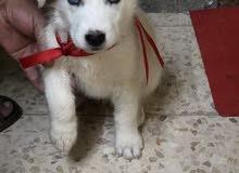 كلب ذكر هسكي سيبيري عيون كرستال من افخم السلالات للبيع او البدل على طيور زينه