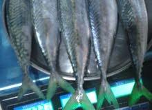 سمك كوالي طازج محلي حجم كبير  الكيلو ب 10