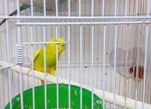 جوز طيور حب بادجي للبيع بالخبر