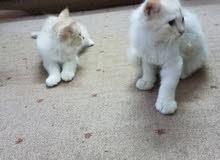 قطة شيرازي بيوتية للبيع