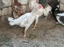 دجاج هندي