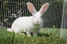 Cute White Pet Rabbit Sale