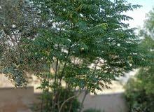 شجرة المظله شجر زينه