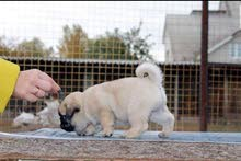 بيور بق  للبيع Pure Pug Puppy Available