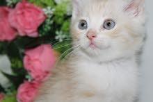 للبيع قطط شيرازيه اقراء الوصف