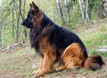 مطلوب كلاب من مصر الى العراق