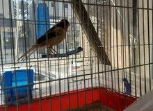 طيور عصفوركناري