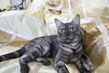 scottish straight male cat for sale