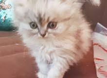 قطة شيرازي العمر 50 يوم العدد 4