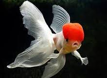 مطلوب سمك زينة redcap