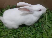 ارنب نضيف