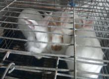 ارانب بابيون حر