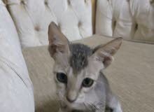 قطط للبيع انثى و ذكر