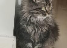cat for sale قط ذكر للبيع male