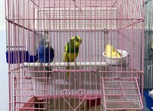 male and female parakeets