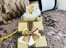 قطة شيرازي باندا جميلة العمر 45 يوم , Persian kitten 45 days