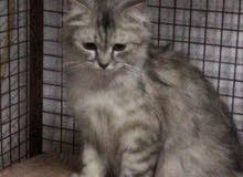 قطط شيرازيه زوج للبيع والأنثى حامل