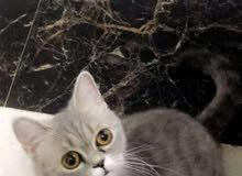 قطه شيرازية العين