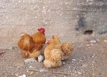 دجاجتين وديك كوشن فطبول اصلي للبيع