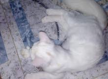 للبيع قطة شرازية