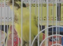 بيع طيور كناري ايراني