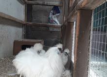 سلام عليكم حبايب كلبي دجاج كوجي هندي للبيع وجواهن بيض