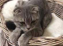 قطط سكوتش فولد بيور