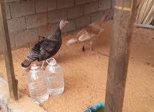 2دجاجاتديك رومي