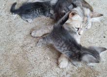 6 قطط شيرازيه للبيع