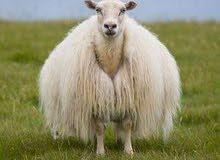 مطلوب خروف اوعبور لحم بسعر جيد