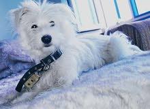 كلبة لولو(مدربه تطيع الكلام،تقرا،وتكتب،تروح، لحمام،مدللة)بكر للبيع