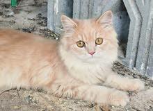 قطه للبيع و بصحه ممتازه جدا