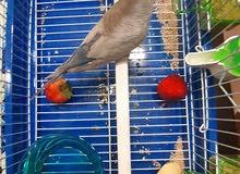 طيور حب بحاله ممتازة