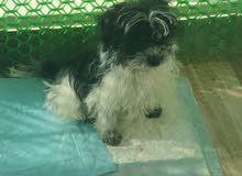 كلب زينة نوع شيتزو مع منزله وبعض الاكسسوارات